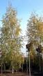 Лиственный крупномер Береза повислая (бородавчатая) Лациниата (Betula pendula 'Laciniata') - 102