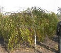 Лиственный крупномер Береза повислая (бородавчатая) Юнга (Юнги) (Betula pendula 'Youngii')