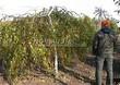 Лиственный крупномер Береза повислая (бородавчатая) Юнга (Betula pendula 'Youngii') - 101