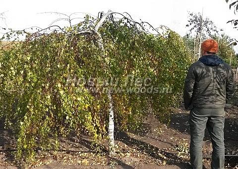 Посадка крупномеров лиственных деревьев Березы повислой Юнга