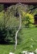 Лиственный крупномер Береза повислая (бородавчатая) Юнга (Betula pendula 'Youngii') - 102