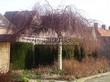 Лиственный крупномер Береза повислая (бородавчатая) Юнга (Betula pendula 'Youngii') - 103