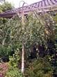 Лиственный крупномер Береза повислая (бородавчатая) Юнга (Betula pendula 'Youngii') - 104
