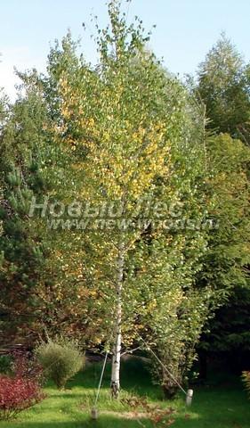 Посадка лиственных крупномеров Березы пушистой