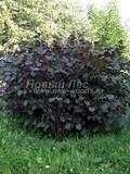 Лиственный крупномер Лещина обыкновенная (Орешник обыкновенный) Пурпуреа (Corylus avellana 'Purpurea')