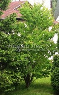 Лиственный крупномер Багрянник японский (Церцидифиллюм японский) (Cercidiphyllum japonicum)