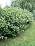 Лиственный крупномер Дерен белый (Кизил белый) (Cornus alba)