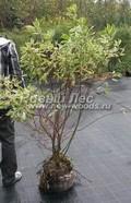 Лиственный крупномер Дерен белый (Кизил белый) Элегантиссима (Cornus alba 'Elegantissima')