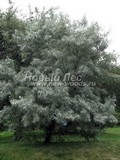 Лиственный крупномер Лох узколистный (Elaeagnus angustifolia)