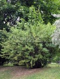 Жёлтая акация (Карагана древовидная) (Caragana arborescens)