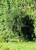 Лиственный крупномер Карагана древовидная (Желтая акация) Пендула (Caragana arborescens 'Pendula')