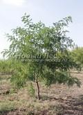 Лиственный крупномер Белая акация (Робиния ложноакациевая) (Robinia pseudoacacia)