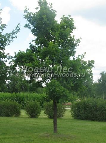Лиственный крупномер Дуб черешчатый (Дуб обыкновенный) (Quercus robur)