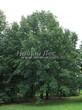 Лиственный крупномер Дуб черешчатый (Дуб обыкновенный) (Quercus robur) - 101