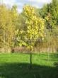 Лиственный крупномер Дуб черешчатый (Дуб обыкновенный) (Quercus robur) - 102