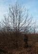 Лиственный крупномер Дуб черешчатый (Дуб обыкновенный) (Quercus robur) - 103