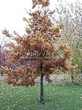 Лиственный крупномер Дуб черешчатый (Дуб обыкновенный) (Quercus robur) - 104