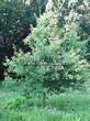 Лиственный крупномер Дуб черешчатый (Дуб обыкновенный) (Quercus robur) - 106