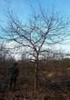 Лиственный крупномер Дуб черешчатый (Дуб обыкновенный) (Quercus robur) - 107