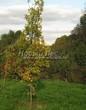 Лиственный крупномер Дуб черешчатый (Дуб обыкновенный) (Quercus robur) - 108