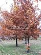 Лиственный крупномер Дуб черешчатый (Дуб обыкновенный) (Quercus robur) - 110