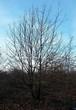 Лиственный крупномер Дуб черешчатый (Дуб обыкновенный) (Quercus robur) - 111