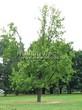 Лиственный крупномер Дуб черешчатый (Дуб обыкновенный) (Quercus robur) - 112