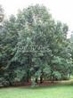 Лиственный крупномер Дуб черешчатый (Дуб обыкновенный) (Quercus robur) - 114