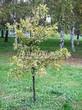 Лиственный крупномер Дуб черешчатый (Дуб обыкновенный) (Quercus robur) - 115
