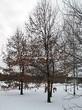 Лиственный крупномер Дуб черешчатый (Дуб обыкновенный) (Quercus robur) - 116