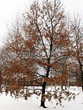 Лиственный крупномер Дуб черешчатый (Дуб обыкновенный) (Quercus robur) - 117