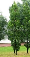 Лиственный крупномер Дуб черешчатый (Дуб обыкновенный) Фастигиата (Quercus robur 'Fastigiata')