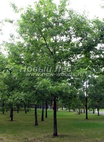 Лиственный крупномер Дуб красный (Дуб остролистный) (Quercus rubra)