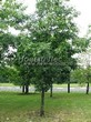 Лиственный крупномер Дуб красный (Дуб остролистный) (Quercus rubra) - 101