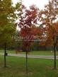 Лиственный крупномер Дуб красный (Дуб остролистный) (Quercus rubra) - 102