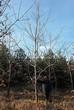 Лиственный крупномер Дуб красный (Дуб остролистный) (Quercus rubra) - 103