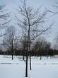 Лиственный крупномер Дуб красный (Дуб остролистный) (Quercus rubra) - 104