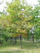 Лиственный крупномер Дуб красный (Дуб остролистный) (Quercus rubra) - 105
