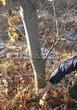 Лиственный крупномер Дуб красный (Дуб остролистный) (Quercus rubra) - 106