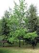 Лиственный крупномер Дуб красный (Дуб остролистный) (Quercus rubra) - 107