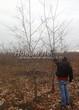 Лиственный крупномер Дуб красный (Дуб остролистный) (Quercus rubra) - 108
