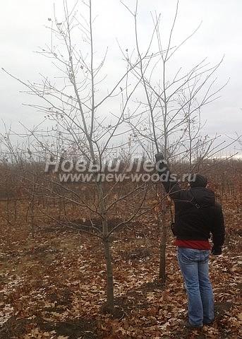 Посадка лиственных крупномеров Дуба красного (обыкновенного)