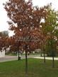 Лиственный крупномер Дуб красный (Дуб остролистный) (Quercus rubra) - 109