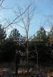 Лиственный крупномер Дуб красный (Дуб остролистный) (Quercus rubra) - 110