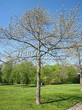 Лиственный крупномер Дуб красный (Дуб остролистный) (Quercus rubra) - 111