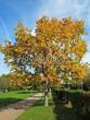 Лиственный крупномер Дуб красный (Дуб остролистный) (Quercus rubra) - 112