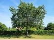 Лиственный крупномер Дуб красный (Дуб остролистный) (Quercus rubra) - 113