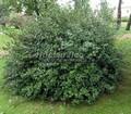 Лиственный крупномер Смородина золотистая (Ribes aureum)