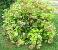 Лиственный крупномер Гортензия древовидная Аннабель (Hydrangea arborescens 'Annabelle')