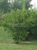 Лиственный крупномер Чубушник венечный (Philadelphus coronarius)